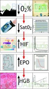 Evolución Fisiológica de la Formación de Hemoglobina como respuesta a la Hipoxia o Altitud Simulada